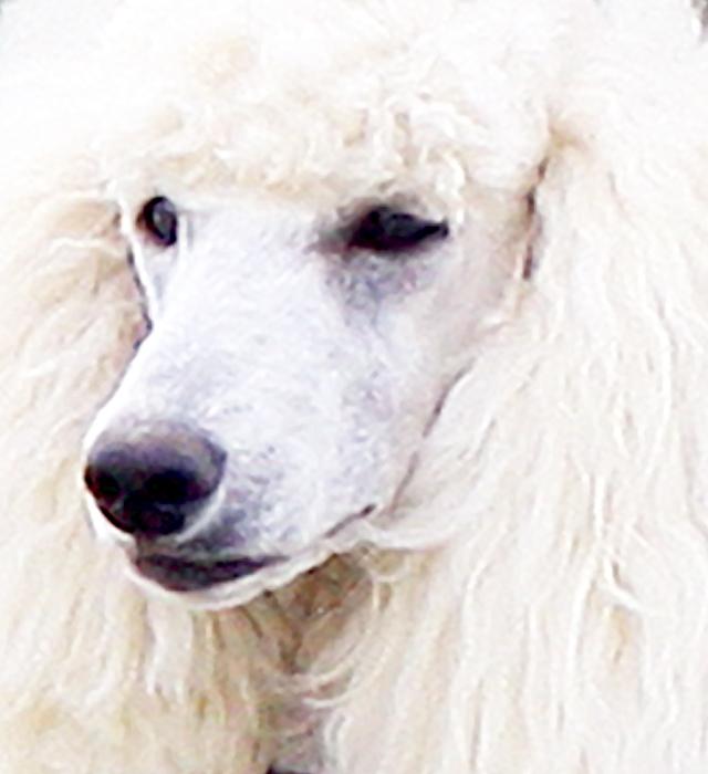 スタンダード・プードル|日本と世界の犬図鑑∪・ωわんライフすたいる